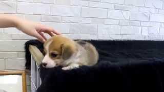 ウェルシュ・コーギー・ペンブローク子犬の詳細→ http://passerellewan....