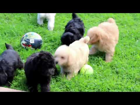 Mini Schnoodle Puppies For Sale