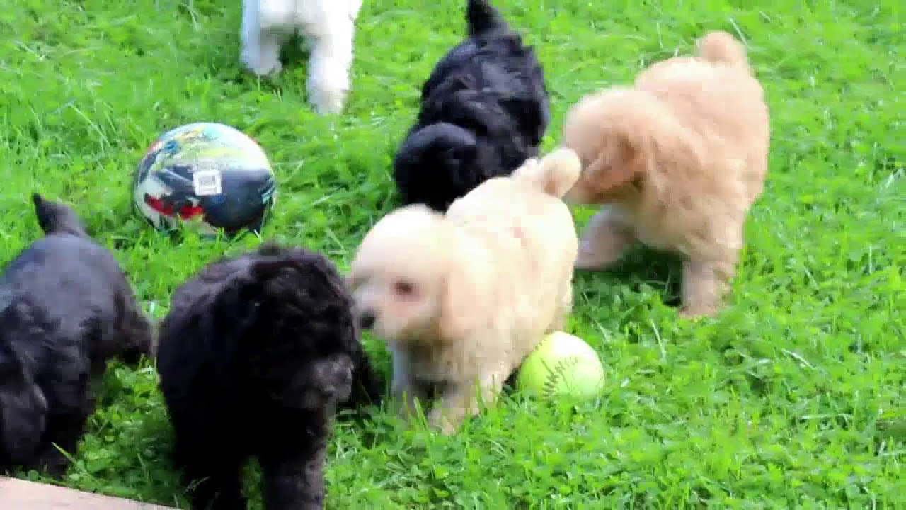 Mini Schnoodle Puppies For Sale Mary Ann Speicher Youtube