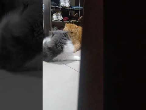 my cats fighting 😂