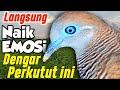 Suara Perkutut Lokal Emosi Saling Sahut Rame  Mp3 - Mp4 Download
