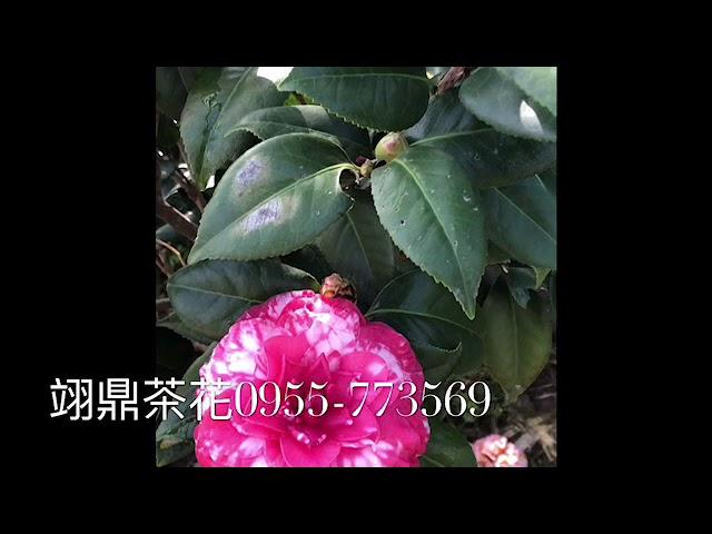 我的影片 47茶花