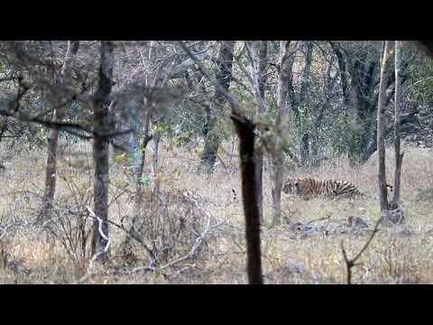 Deer make loud alarm calls when they sense danger from Tiger