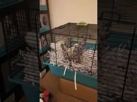 Having A Good Evening With Rats And Gerbils