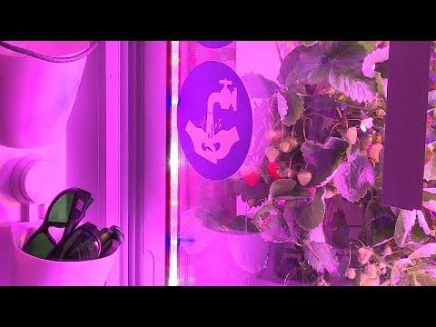 Startup cultiva morangos com luzes LED no centro de Paris