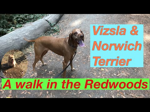 Vizsla & Norwich Terrier in the Redwoods