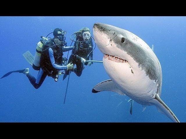 Bull Shark Vs Great White - Lessons - Tes Teach