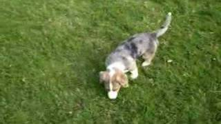Cardigan Welsh Corgi, Puppy, Pembroke, Dog.