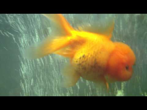 Day 13 Treating Goldfish Wally For Severe Dropsy