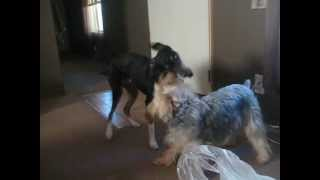 Kramer (foster) And Boo Boo (personal Dog) Playing