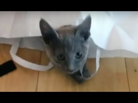 Russian Blue Kitten Lena Playing with Bag