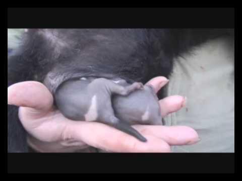 baby Tasmanian devils