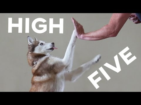 Husky High Five