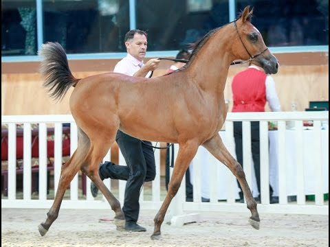 Qatar National Arabian Horse Show for Local Bred Horses Day 2