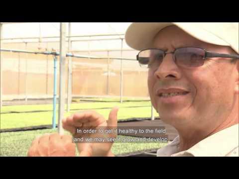 Brazilian REI melon production field in Bahia farm