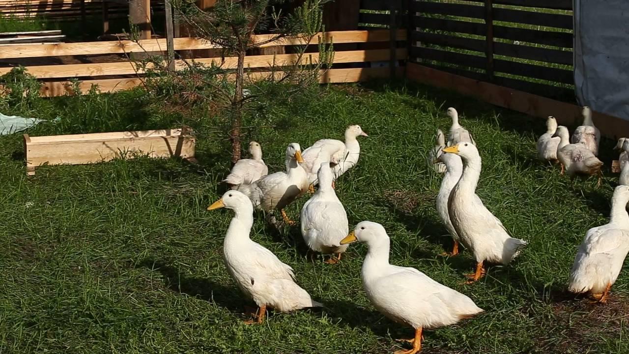 Продаются утята мулард купить в народе (утка-гусь),купить гусята крупная серая,. Продаем уток белых породы стар-53 живым весом 100 руб. За 1 кг.