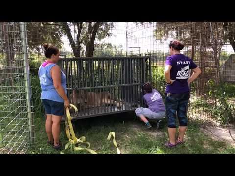 Cameron Lion is reunited with Zabu Tiger after seeing the Vet