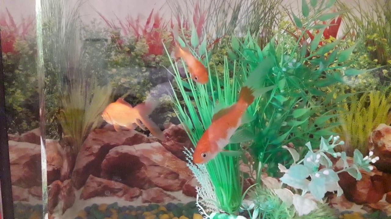 Золотые рыбки в аквариуме. Матильда - золотая рыбка ...