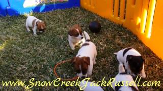 Jack Russell Terrier, Puppies, For, Sale, In, Miami, Florida, Fl, Orlando, Tampa