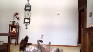 German Shorthaired Pointer Training Session