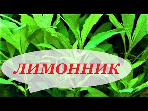 Лимонник в аквариуме. Размножение, уход, фото. Аквариумные растения. Nomaphila.