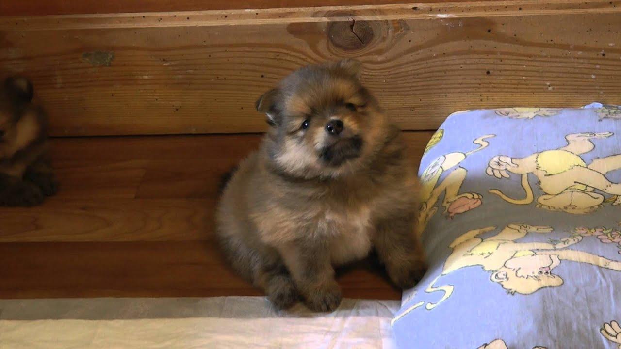 щенки померанского шпица, возраст 1 месяц - YouTube