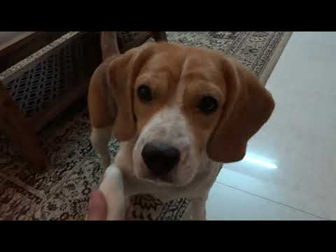 MYRA's  Introduction - Cute Indian Beagle