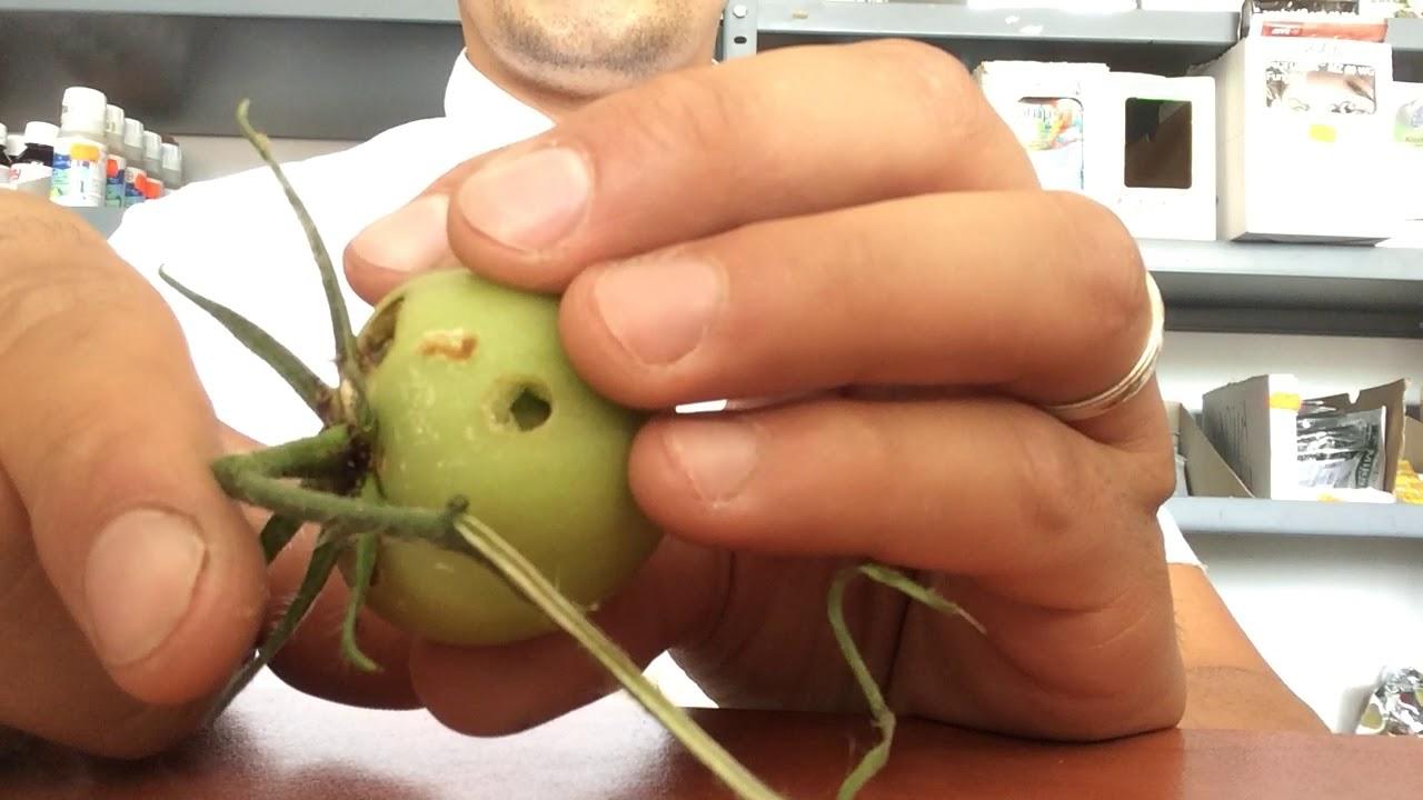 vierme verde cu corn)