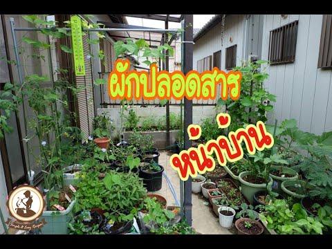 พาชมผักปลอดสารหน้าบ้าน ปลูกผักไทยในญี่ปุ่น Ep.807