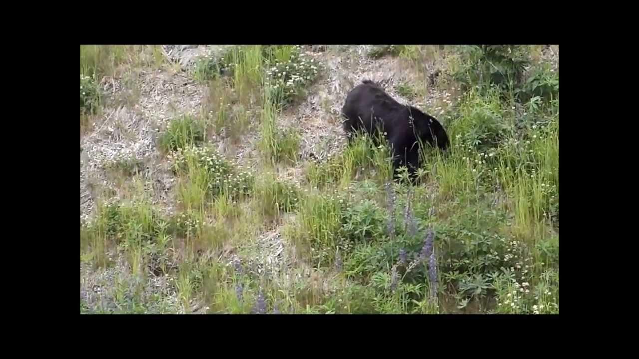 Whistler, BC - Bears on the Roadside