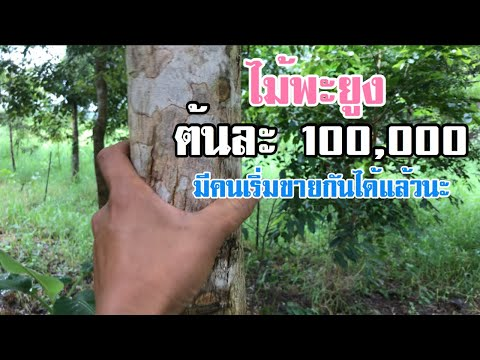 ไม้พะยูงต้นละ 100,000 บาท ปลูกแล้วจะขายได้จริงหรือ [ดินแดนแห่งเสรีภาพ]