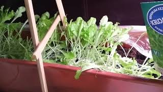 Листья салата на подоконнике