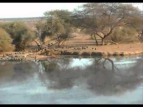 Guinea Fowls (fleas) and Impalas at Pete's Pond