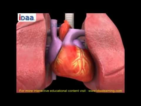 Blood circulation and heart beat in human body in 3D –biology -science – iDaalearning.com