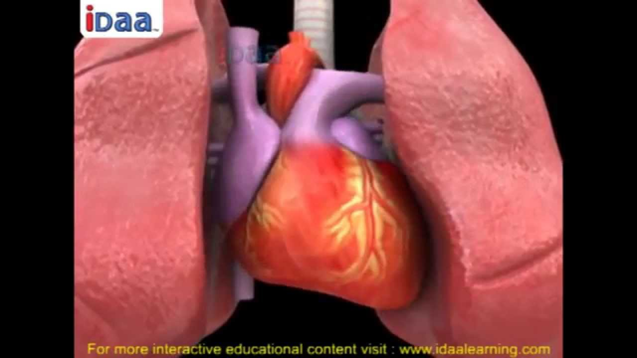 Blood circulation and heart beat in human body in 3D –biology ...