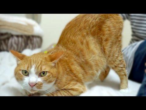 「撫でて〜」超おしりが高いww茶トラ猫「マック」お願いの鳴き声!? -Cute Cat likes one patted by hand of mom. Spoiled cat Mac !