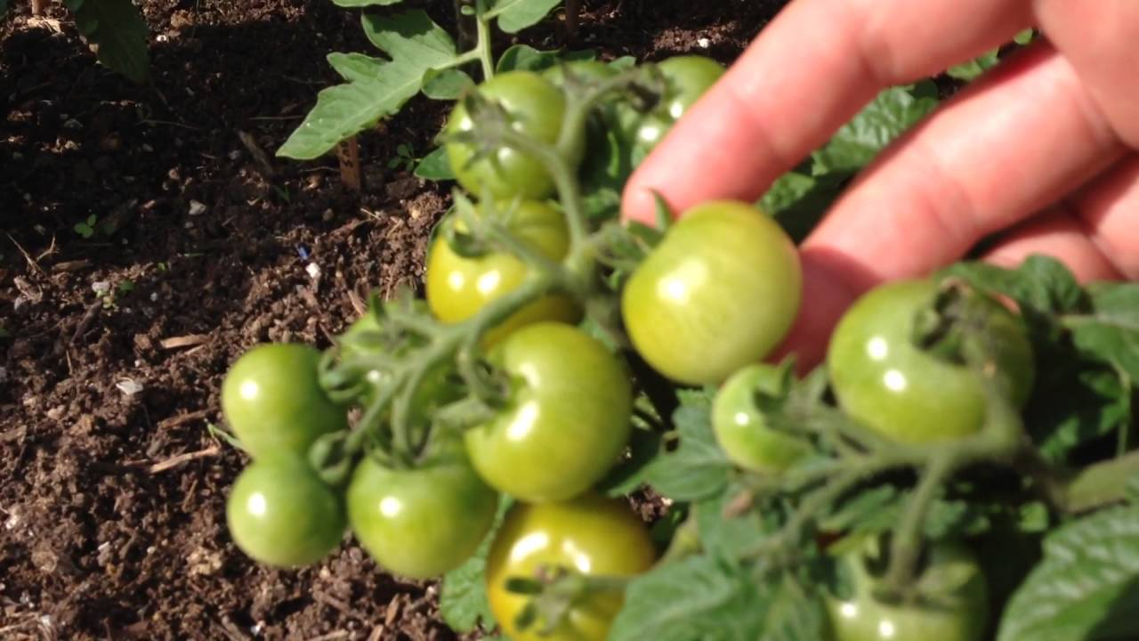 growing red robin dwarf cherry tomato youtube