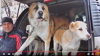 Dog Killer.Суровый АЛАБАЙ КИНГ и его ЩЕНКИ.Angry alabai and his puppy.Odessa.
