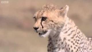 Cheetah Attacks Gazelle | Big Cat Diary | BBC