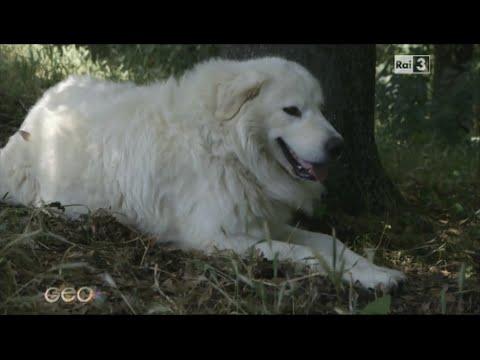 Documentario l'arma ecologica: il Pastore Maremmano Abruzzese Rai 3 Geo&Geo