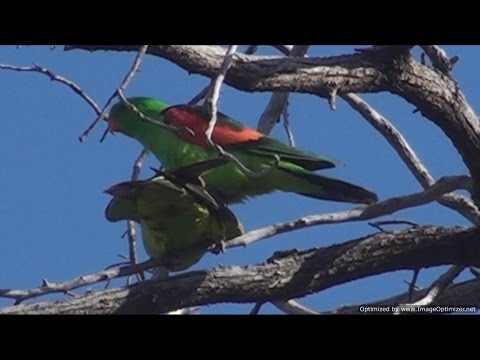 Crimson or Red-winged Parrots  In The Wild