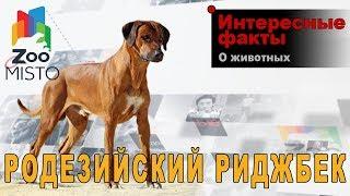 Родезийский риджбек - Интересные факты о породе  | Собака породы родезийский риджбек