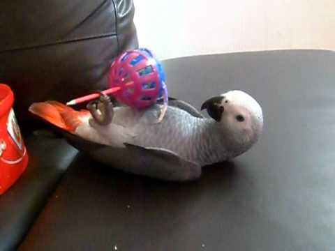 African Grey Parrot laying on back playing with toys – Little Miss Casper