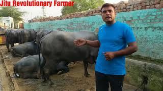 दो सरकारी नोकरी छोड़ -60 Lakh कमाये -  5 साल में - केवल 10 Murrah भैंसों से। Sucess Story of a Farmer