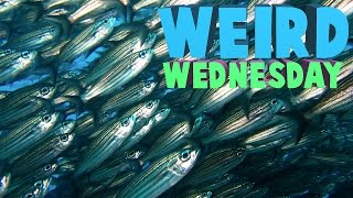 Weird Wednesday - Can't Surf Too Many Fish?!