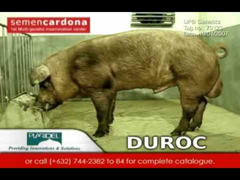 Duroc - Semen Cardona