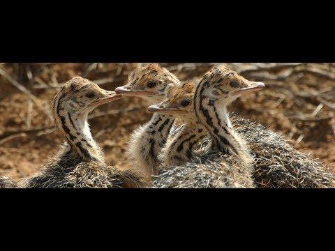 Development of Ostrich Farming in Punjab