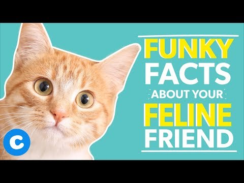 10 Fun Facts About The Domestic Shorthair Cat