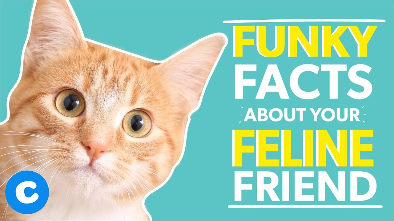 10 Fun Facts About The Domestic Shorthair Cat Youtube