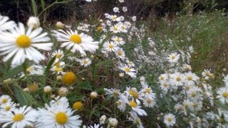 Meadow of Mini White Daisies and Yellow and White  Wildflowers.